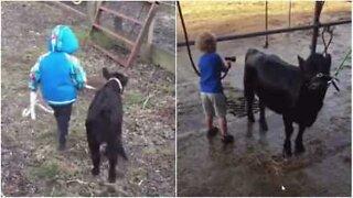 Un bimbo e una vitellina sono migliori amici