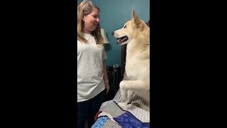Spoiled rotten doggy refuses to get down from his owner's bed