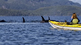 Watch: Kayakers' incredibly close encounter with killer whales
