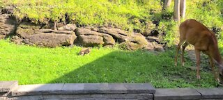Rabbit and deer share the same space