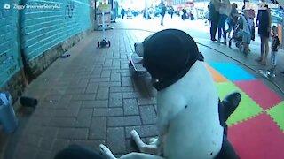 Hund på hjul: en otrolig street performance!