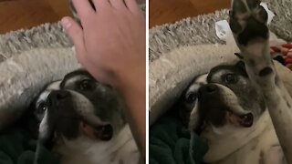 Indifferent dog nonchalantly gives high-fives