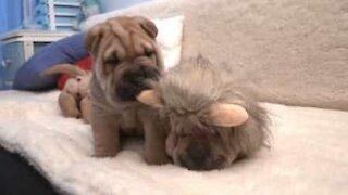 Cucciolo di shar pei cerca di svegliare il suo amico leoncino