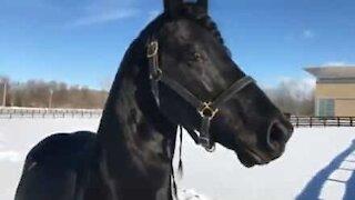 Hesten elsker å leke i nysnøen i New York