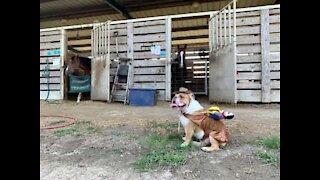 British Bulldog plays at being a horse