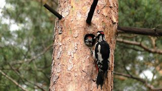 Woodpecker feeds the chick
