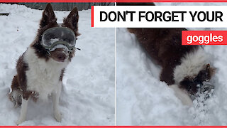 Adorable footage shows beautiful Border Collie playing in the snow