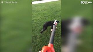 Cane cerca di acchiappare l'aria di un aspirafoglie