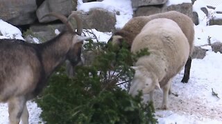 Goats at the New Zoo make good use of donated Christmas Trees