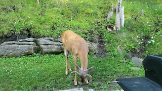 Chipmunk appears to have befriended wild deer