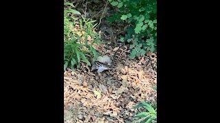 Snake eating a squirrel at Cedar Creek Falls
