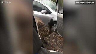 Ladrão inesperado! Emu rouba compras de um carro na Austrália