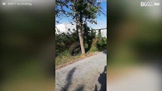 Un motocycliste thaïlandais terrifié par un varan!