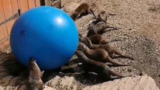 Otters have a blast with exercise ball