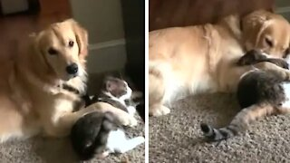 Golden Retriever adorably cuddles best friend - who happens to be a cat!