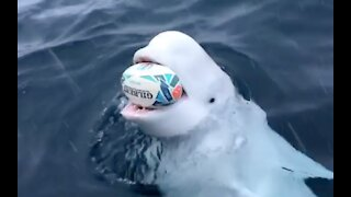 Beluga whale playing fetch near the north pole.