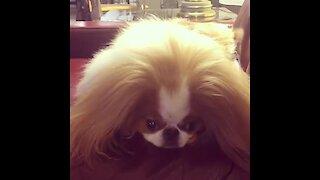 Dog with majestic hair enjoys dental treat