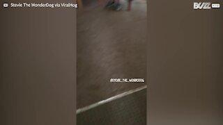 Ce chien danse lorsqu'il voit sa maîtresse arriver