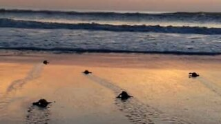 50 baby turtles try to reach the ocean