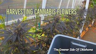 Harvest Time on this Cannabis farm in Oklahoma