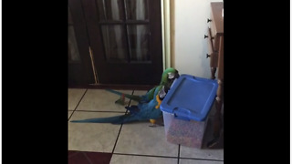 Parrots use teamwork to break into food container
