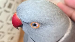 """Hilarious talking parrot just wants to """"poopie"""""""