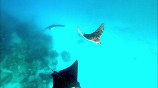 Spotted eagle stingrays come to closely examine scuba diver