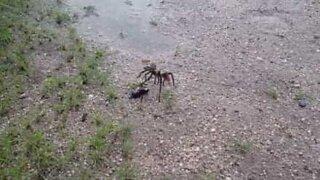 Spider wasp viciously attacks tarantula