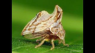 Tiny treehopper from Ecuador