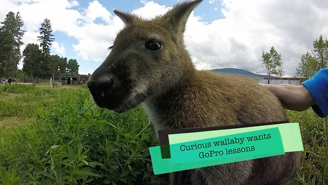 Curious wallaby wants GoPro lesson