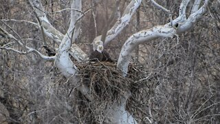 Eagle watchers help monitor thriving eagle population