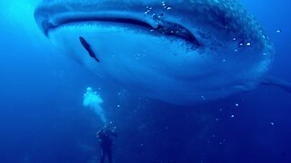 Incredible close up of whale shark shows massive healed injury