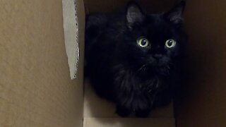 Crazed kitty in empty box makes hilariously weird sounds