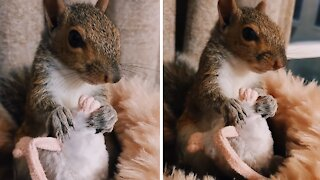Pet squirrel doesn't want to be separated from favorite toy