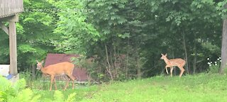 Mother and fawn at the neighbors
