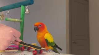 Parrot wants to become a professional skateboarder