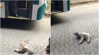 Blaffer-dovendyr beder en buschauffør om et lift