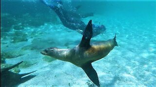 Playful sea lions in Galapagos Islands delight swimmers at the beach