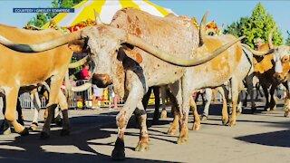 Greeley Stampede hosts daily longhorn parade