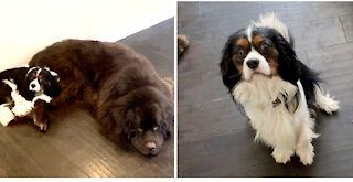 Cute Cavalier perfectly responds to mom's question