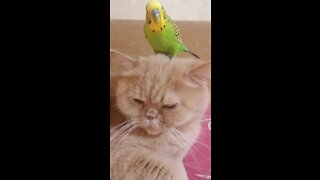 Unimpressed cat lets parrot play on top of his head