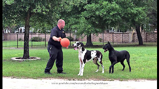 Bouncing Great Danes Have Fun Playing Fetch With Their Jolly Ball
