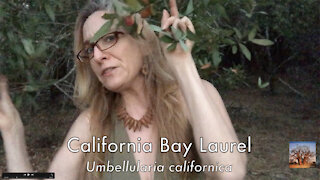 TreeGirl Book Campaign–California Bay Laurel
