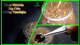 Black Mexican Big Corn 14 Day Time-Lapse