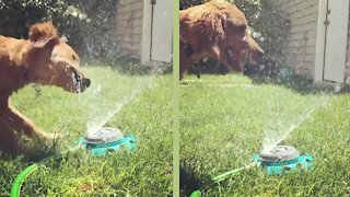 Funny Golden Retriever Reacts to Dog Water Fountain