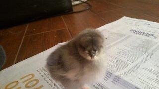 Pet Profiles: Blue the Chicken