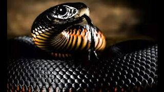Great Two black snakes during mating