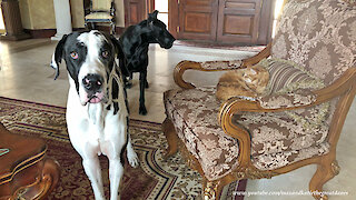 Funny Great Danes and Cat Pose For A Photo