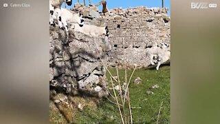 Admirez ces agneaux sauter un muret au ralenti
