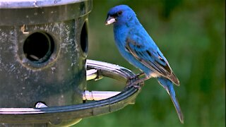 The indigo bunting is a very vibrantly colored bird